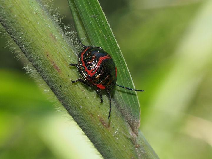 アカスジキンカメムシ幼虫-OMD03705