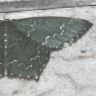 96-ウスキヒメアオシャク-OMD03868