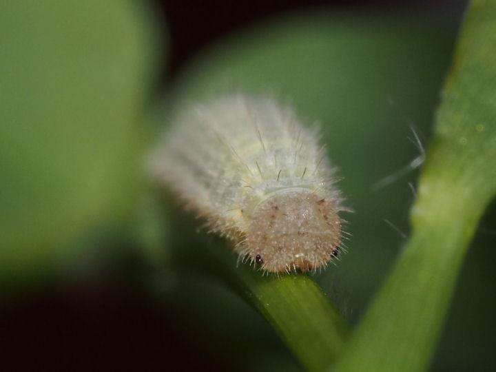ヒメウラナミジャノメ幼虫15mm-OMD03844