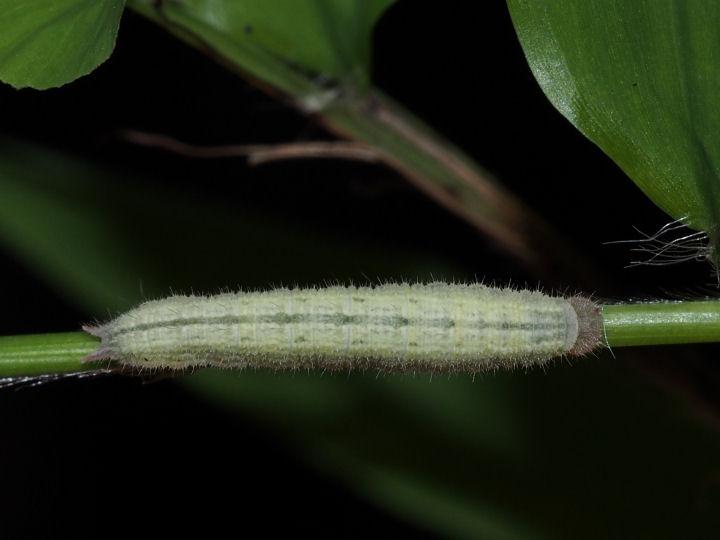 ヒメウラナミジャノメ幼虫15mm-OMD03851