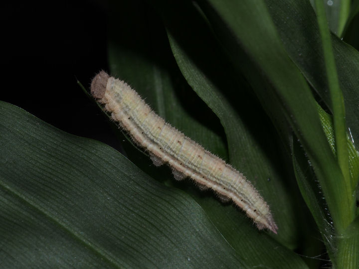 ヒメウラナミジャノメ幼虫20mm-OMD04383