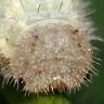 ヒメウラナミジャノメ幼虫15mm頭部-OMD03844