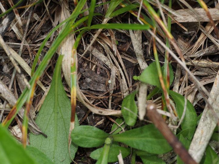 ジャノメチョウ卵-OMD04509
