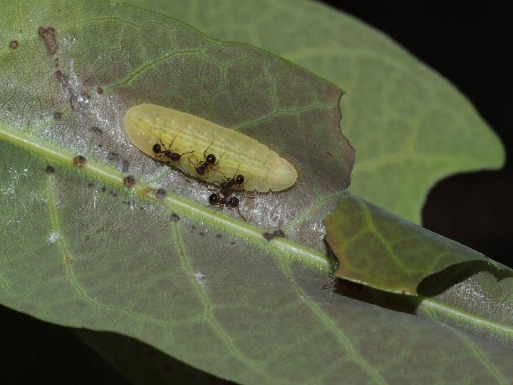ムラサキシジミ幼虫17mm@シラカシ-OMD04732