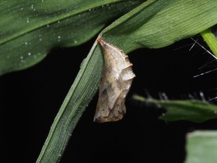 ヒメウラナミジャノメ蛹11mm-OMD04921
