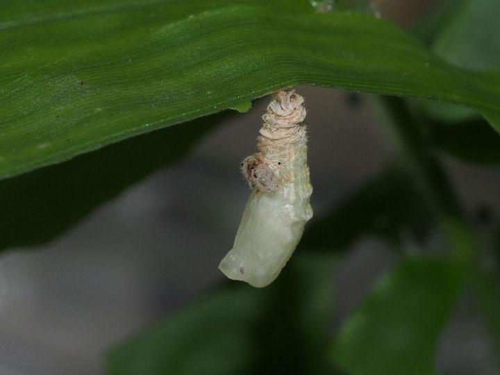 ヒメウラナミジャノメ蛹化1-OMD04895