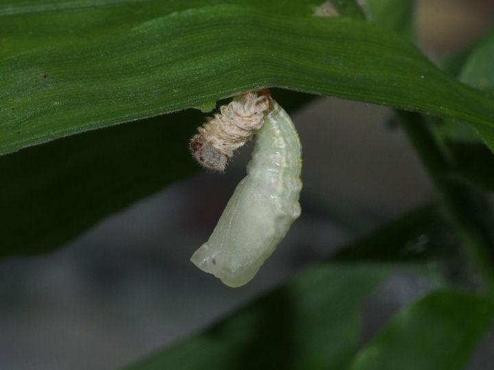 ヒメウラナミジャノメ蛹化2-OMD04899