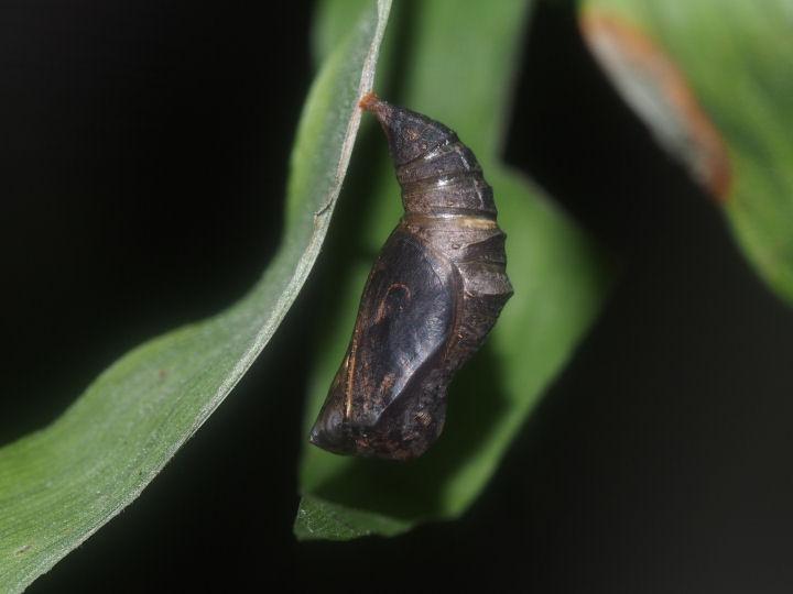 ヒメウラナミジャノメ蛹(羽化直前)-OMD06314
