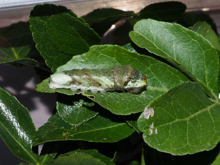 オナガアゲハ幼虫25mm-OMD05041