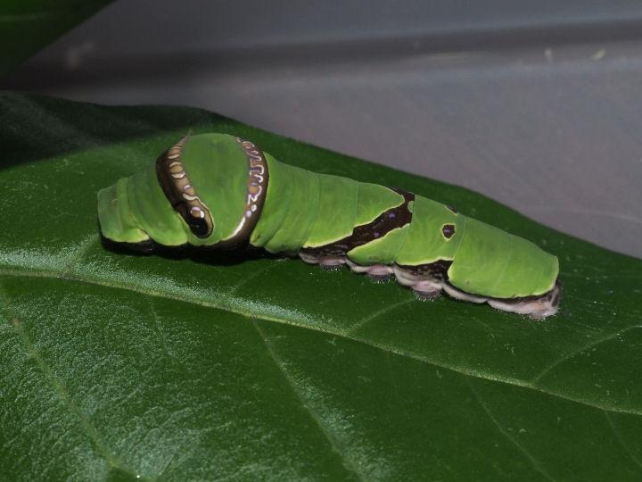 オナガアゲハ幼虫34mm-OMD05196
