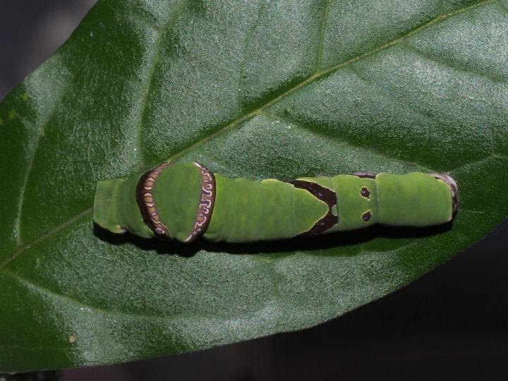 オナガアゲハ幼虫34mm-OMD05201