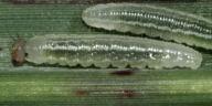サトキマダラヒカゲ幼虫6mm-OMD08111