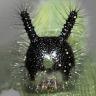 ウスイロコノマチョウ幼虫15mm頭部-2014-09-29-OMD08615