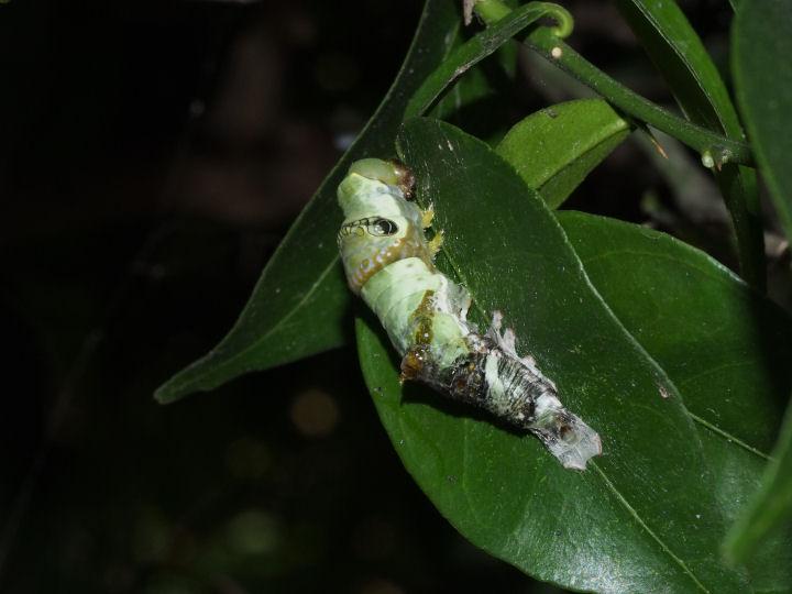 オナガアゲハ幼虫27mm-OMD08098