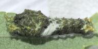 ヤエヤマカラスアゲハ幼虫12mm-OMD08911