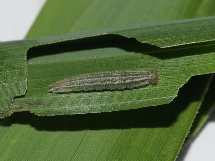 サトキマダラヒカゲ幼虫10mm-OMD08345