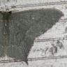 96-ハガタツバメアオシャク-2014-09-30-栄区-OMD08692