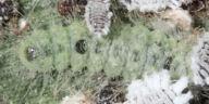 ゴイシシジミ幼虫5mm-OMD09462