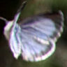 スジタニルリシジミ♀表-IMG_9600