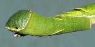 ヤエヤマカラスアゲハ幼虫45mm背面-OMD00072