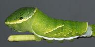 ヤエヤマカラスアゲハ幼虫45mm側面-OMD00066
