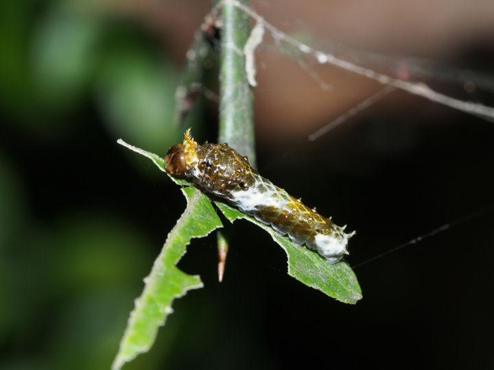 クロアゲハ幼虫12mm-OMD09332