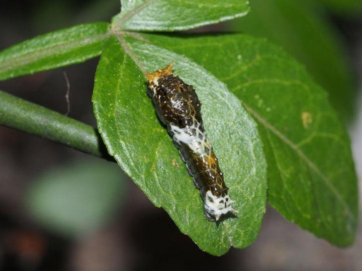クロアゲハ幼虫12mm-OMD09331