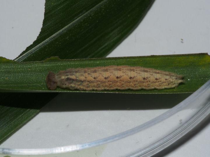 サトキマダラヒカゲ幼虫20mm-OMD09378