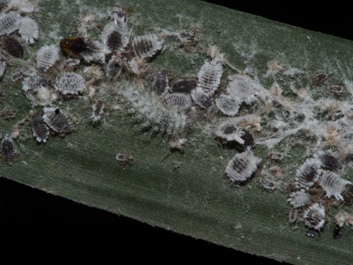 ゴイシシジミ幼虫5mm-OMD09449