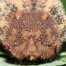 サトキマダラヒカゲ幼虫31mm頭部-OMD00035