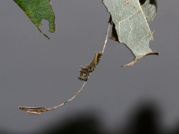 コミスジ幼虫5mm-OMD09833