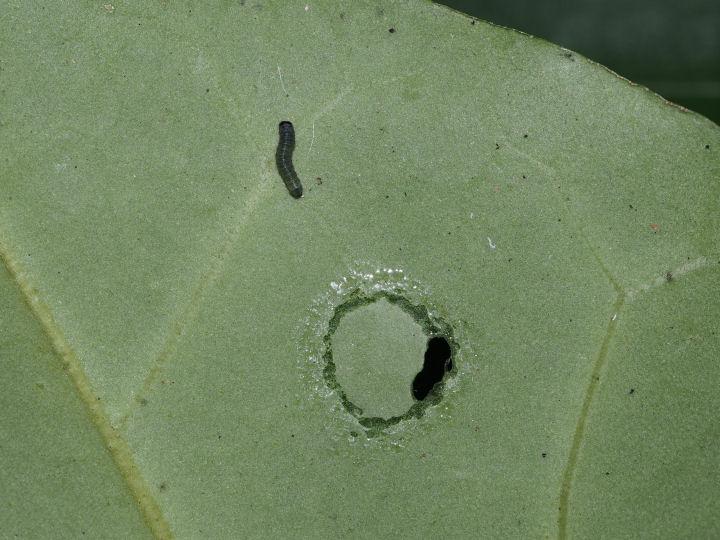 アサギマダラ幼虫5mm-OMD00219