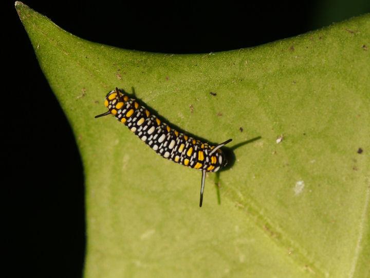 アサギマダラ幼虫10mm-OMD00175