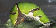 シロオビアゲハ前蛹-OMD00820