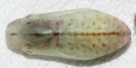 ヤマトシジミ蛹(背面)-OMD00944