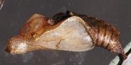 リュウキュウミスジ蛹(側面)-OMD01215