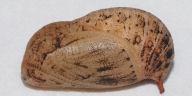 サトキマダラヒカゲ蛹18mm側面-OMD01204