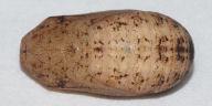 サトキマダラヒカゲ蛹18mm背面-OMD01207