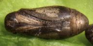192-ウラナミシジミ蛹(腹面)-R0020199