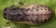 192-ウラナミシジミ蛹(背面)-R0020198