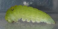 192-アオスジアゲハ前蛹-OMD02312