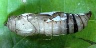 192-ダイミョウセセリ蛹