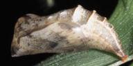192-ヒメウラナミジャノメ蛹-OMD04921