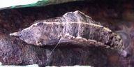 192-モンシロチョウ蛹