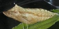 192-キアゲハ蛹-2014-09-29-OMD08597