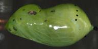 192-アサギマダラ蛹-OMD06837