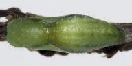 192-ツシマウラボシシジミ蛹-OMD07551