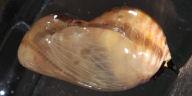 192-ツマムラサキマダラ蛹(側面)-OMD00856