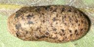 192-オオミドリ蛹(背面)-IMG_7709