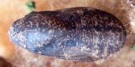 192-クロマダラソテツシジミ蛹(背面)-RIMG0119